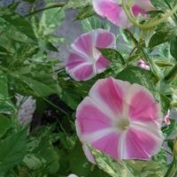 花てまりが5つ咲きました😆 斑入りの葉っ...