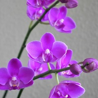 胡蝶蘭 8/15  順調に咲き進んでいます。