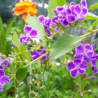 デュランタ タカラヅカ 今年の花が咲き...