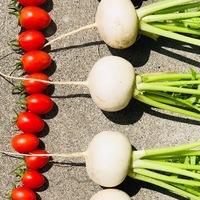 今日の収穫です。 カブ、ミニトマト