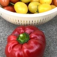 赤ピーマンとミニトマト 今年最後の赤ピ...