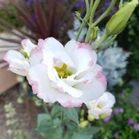 種蒔きからのトルコギキョウ、咲きまし...