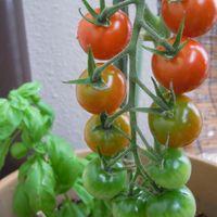 鉢植えのトマト やっと色づいてきたピカ...