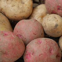 ジャガイモの収穫 12/7  アンデスレッド...