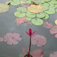 水の庭にて 夜咲きのスイレンのレットフ...