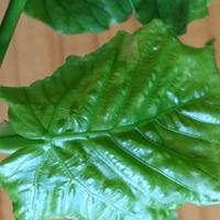 ウンベラータの新芽、柔らかくて美味し...