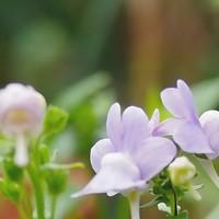 庭のどこかでよく咲いてくれてるネメシ...