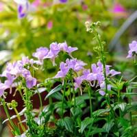 ネメシア 何度も咲く可愛い花です (*^^*)