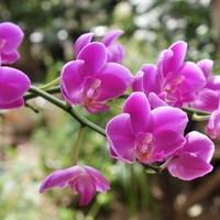 胡蝶蘭 9/5  7月から咲き始めました。 ...