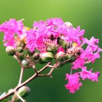 ピンクのサルスベリの花が咲いていまし...
