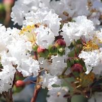 白いサルスベリの花も咲いていました。 ...