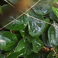 クリスマスローズ   仙人草が日陰を作っ...