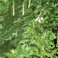 藤の大きな鞘