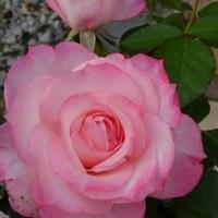 ニコール。きれいに咲きそろっている。...