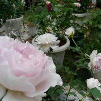 バラコーナー(仮)。続々と咲いています。