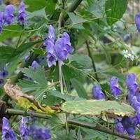 トリカブト・・・毒草ですが色はとても...