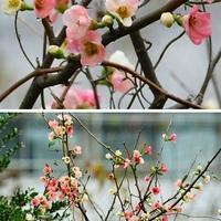 落葉低木バラ科『カンボケ』 白とピンク...