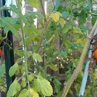 2月のミニトマトです。  温室だと冬まで...