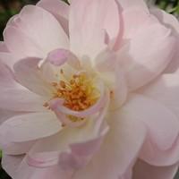 キズナ。ハート型の花びらが可愛い、香...