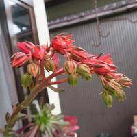 くろすけ ブラックプリンスの花の拡大撮り