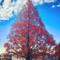 紅葉したクリスマスツリーです。?
