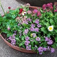 去年から植えたかった紫のアリッサムを3...