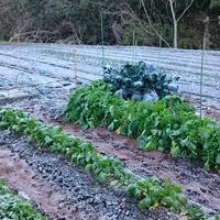 裏の畑の野菜・・霜で真っ白です❗  今朝...