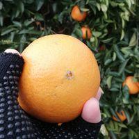 ネーブルオレンジを収穫しました。 例年...