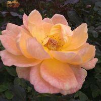 10月12日、京成バラ園 これほどのバラを...