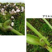 鉢植えのクリロー、愛称『ジジ』と『ア...