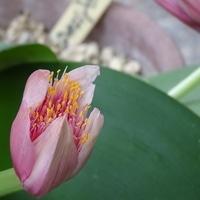 マユハケオモト 花の姿が眉刷毛に似てい...