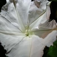 「ヨルガオ」  ヒルガオ科  一番花が咲...