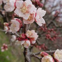 「ウメ」  バラ科  咲き進んでいます!😃