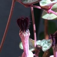 多肉植物   ハートカズラ  💕