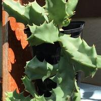 多肉植物    スタペリア  頂き物を育て...