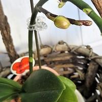 ミニ胡蝶蘭 3月 蕾が膨らんで来ました👍