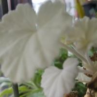 真っ白な葉がこのえだだけにつきます。...