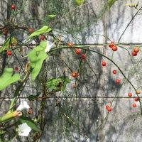 マメアサガオの花と、アスパラガスの実...