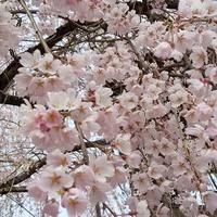 桜を見てきました。