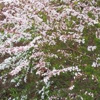 ユキヤナギがこんなに咲いていました。 ...