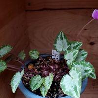 濃い花色と薄い葉色のヘデリフォリウム
