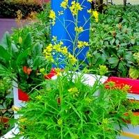 可愛い黄色の水菜の花が咲きました。
