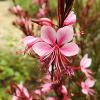 2年目のガウラです。 ピンクの小花がカ...
