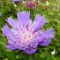 ストケシア。 柔らかな青紫の花…  2019....