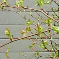 モッコウバラに蕾がでてきました!鉢植...