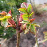 四季咲きのバラの新芽が出てました。