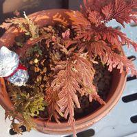 冬、縮まっていた葉っぱが開いていまし...