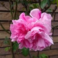メアリーローズ 感動の一番花です。 花...