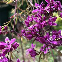 ボロニア プレシャス。 細い枝に花が付...