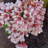 Bergenia cordifolia ベルゲニア・コル...